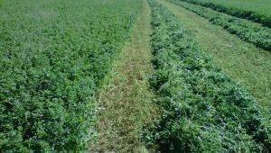 Recomendaciones para el cultivo de la alfalfa