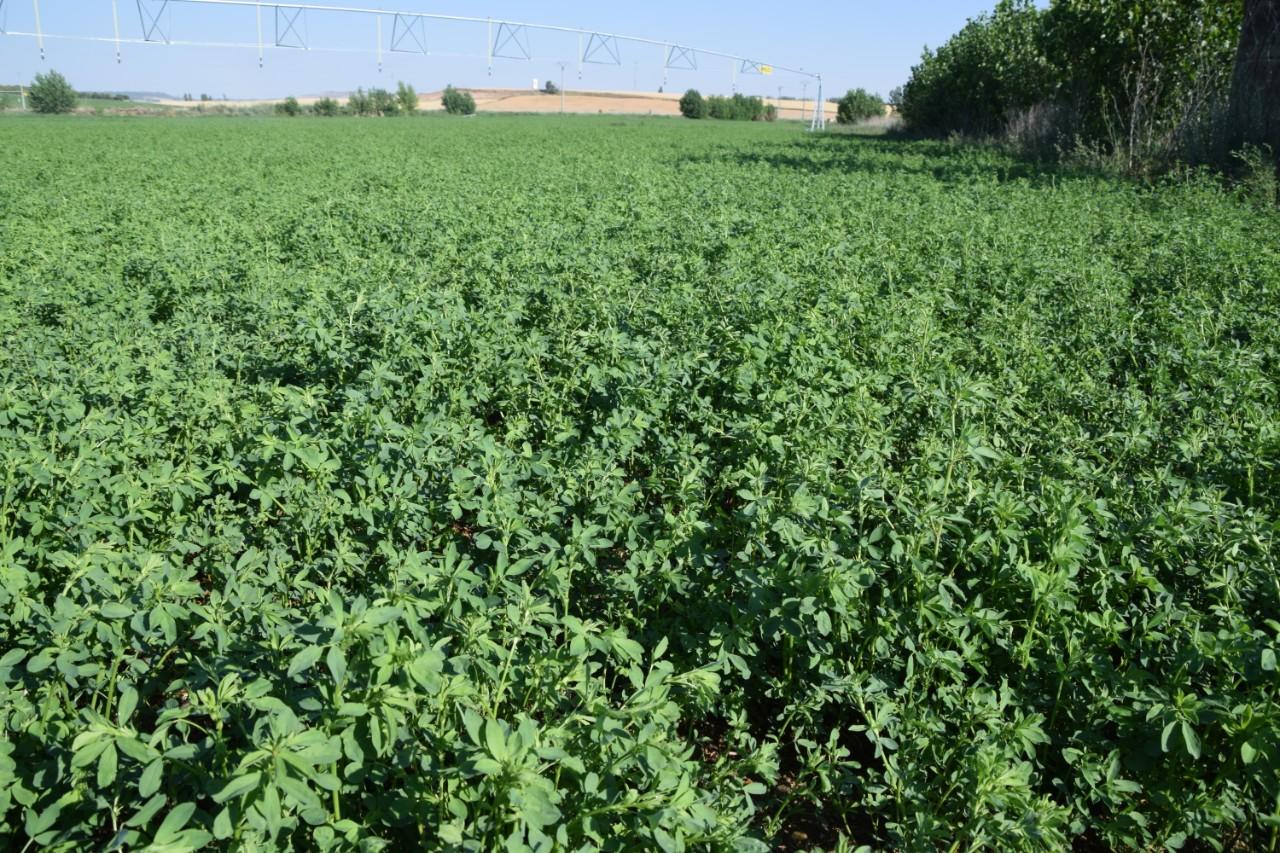 Elegir cultivar alfalfa: razones y pautas de siembra.